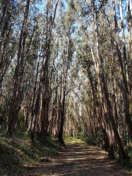 Eucalyptus trees - Loggers Loop trail
