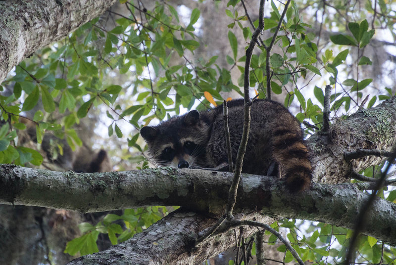 Raccoon in the trees