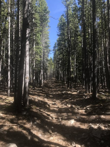 Long straight paths through thick woods