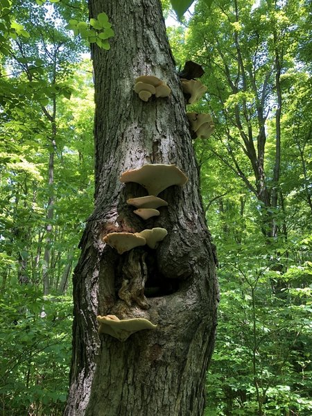 Shelf mushrooms?
