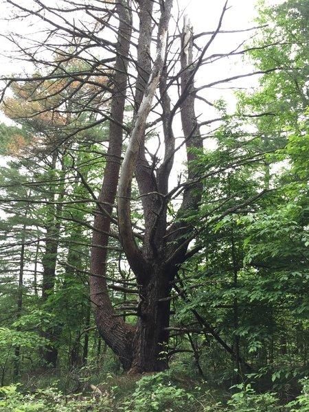 Huge Pine in the woods
