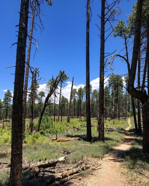 Area along Widforss Trail in recovery mode from past wildfires.