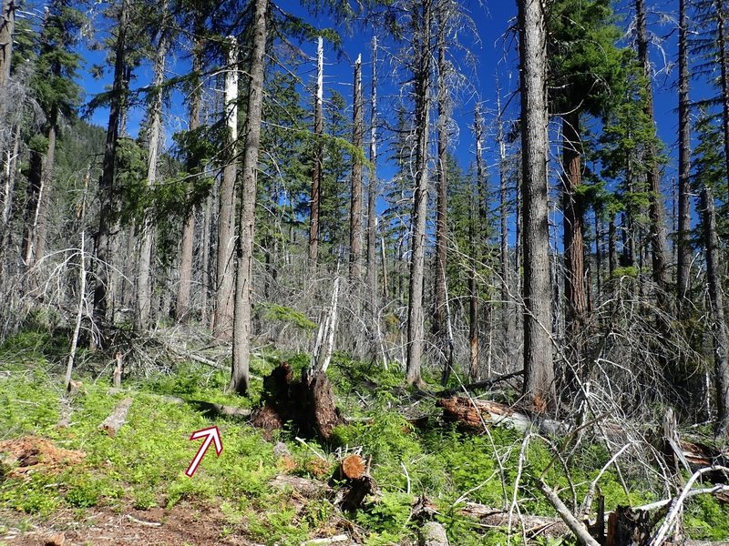 Navigating through the burned area requires paying attention for cut logs and faint tread (arrow)