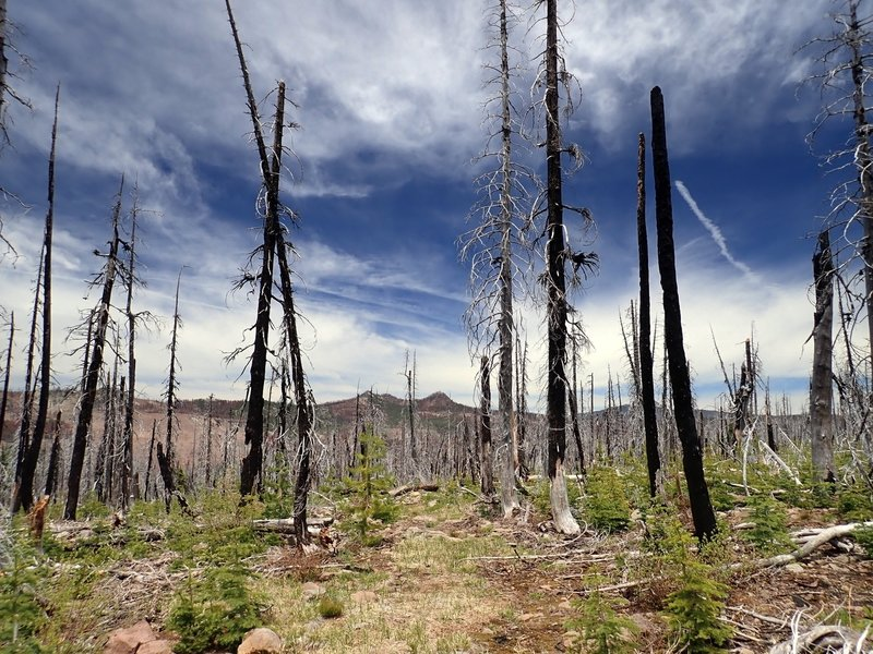 The southern portion of the McKie Camp Trail through the damage from the 2008 fire.