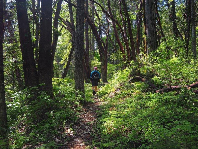 Climbing toward London Peak through lush old-growth forest