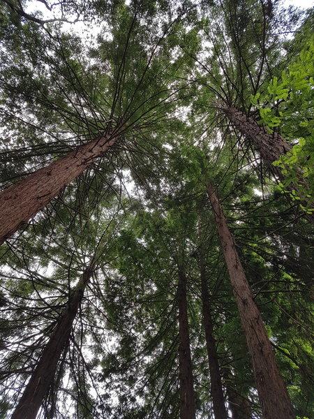 Redwood Forest near Lake Anza