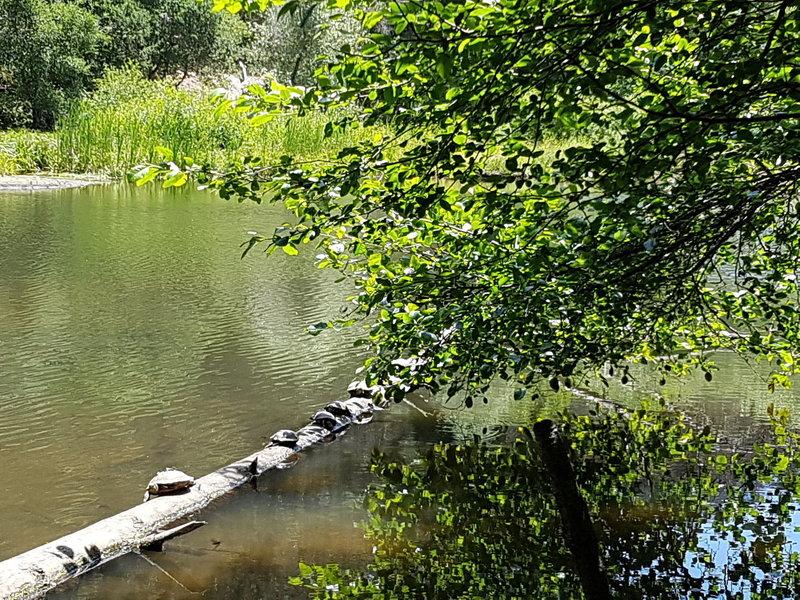 Turtles at Jewel Lake