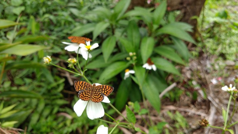 Lots of butterflies at the peak, species Antillea Pelops.