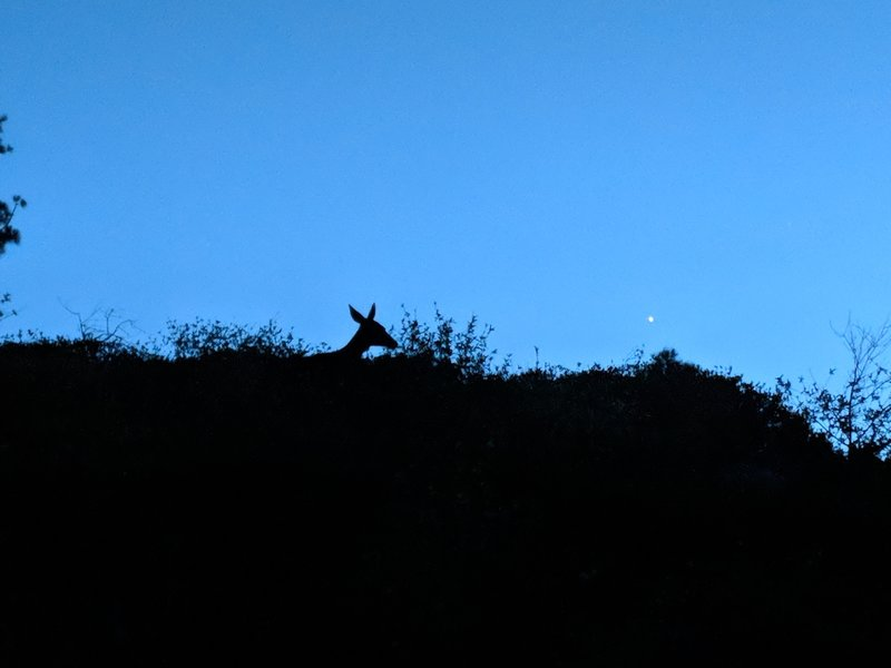 We suspect that the mountain lion who visited us in the middle of the night was looking for this gal!