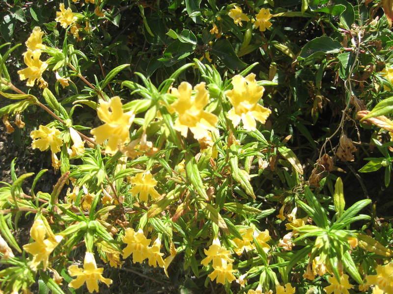 iNaturalist tells me these are genus Spartium.