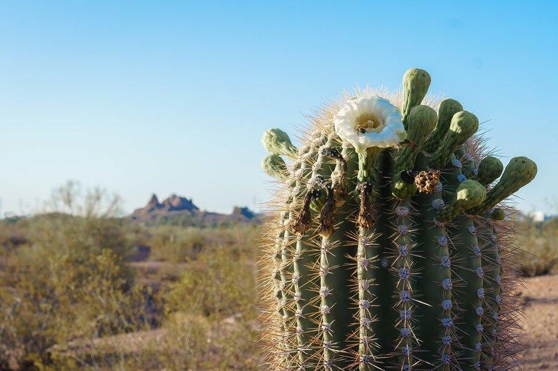 Papago Cactus late May