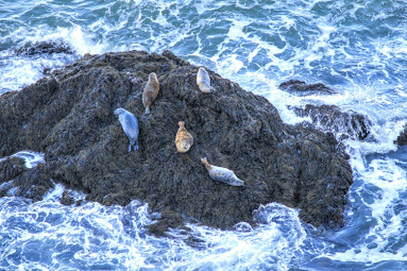 Seals out on a rock near Seal Cove / Keyhole