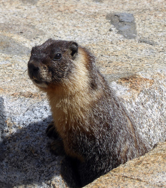 """who are you"" asks the marmot"
