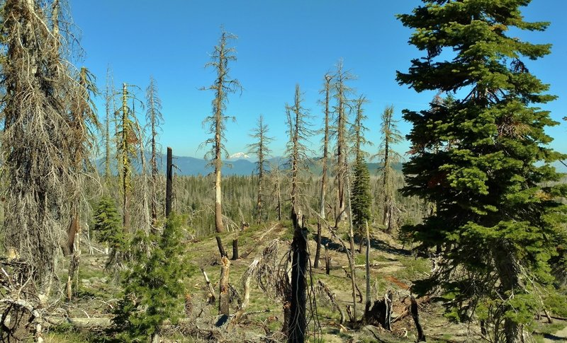 Mount Shasta can be seen in the far distance (center) to the northwest, through the trees - some burnt and some green with life, as the land along Bear Lakes Trail, recovers from the 2012 Reading Wildfire