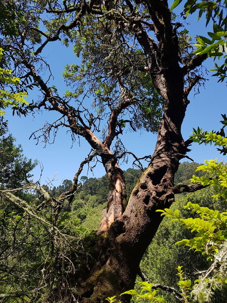 Pacific Madrone Tree