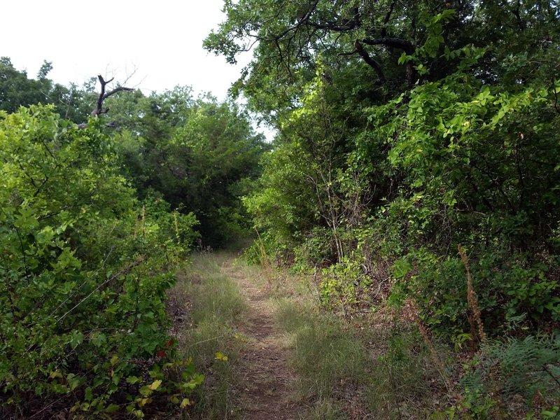 Bluff Loop track through scrubby oaks