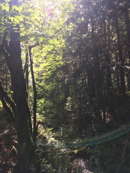 Looking up at the trees along the trail, with the creek below.