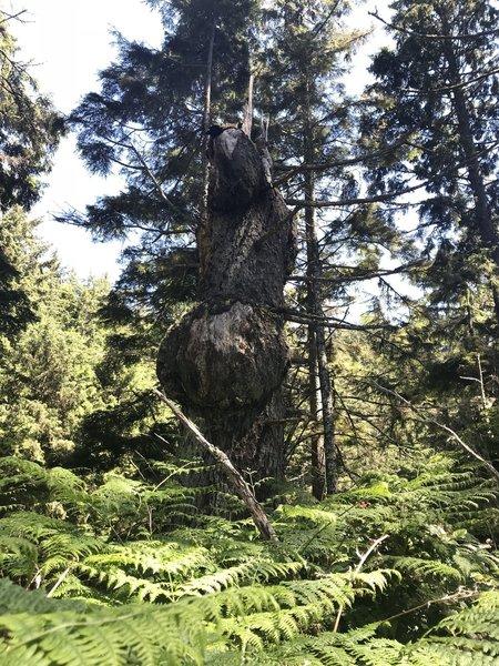 A very burly tree!