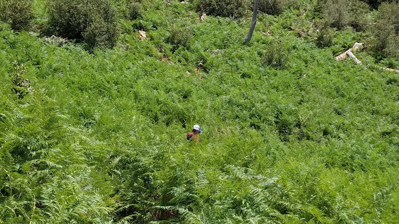 field of thick ferns along mint spring trail, mt lemmon