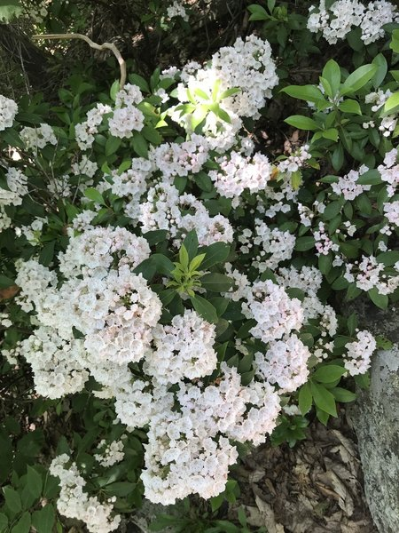 Mountain Laurel is EVERYWHERE on this trail. It's gorgeous!!