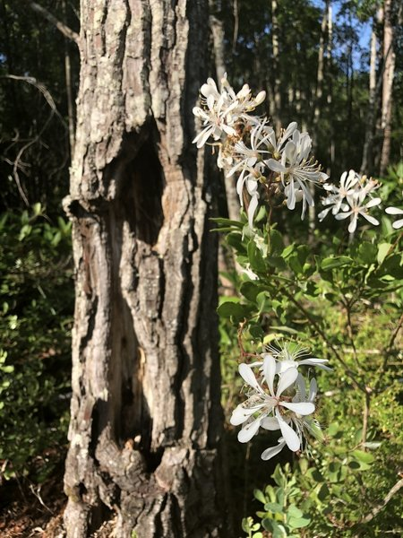 Beautiful white flowers along the trail