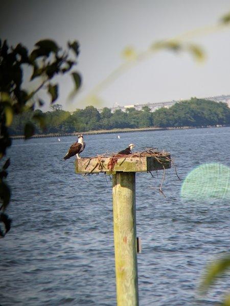 Osprey nest site in Whitehall Bay