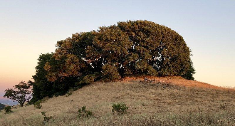 Flagged tree on ridge top at sun set.