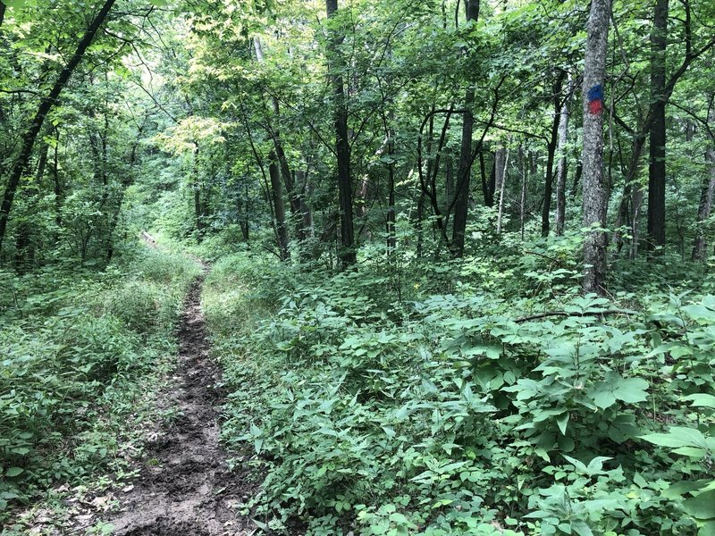 A section of the outer and upper loops. Needs to be mowed again but even so the trail is well blazed and in good condition to run/hike.