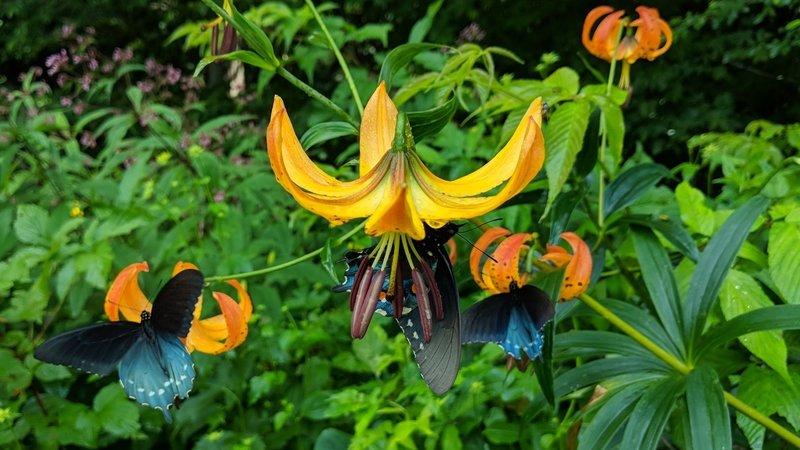 Turk's Cap Lilies in July