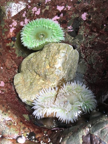 Two very large sea anemones.