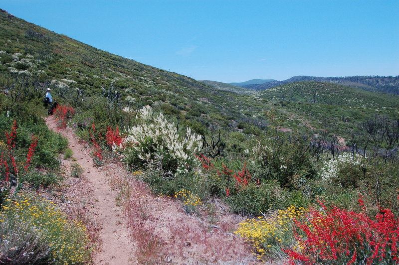 Flowers in fire recovery area.