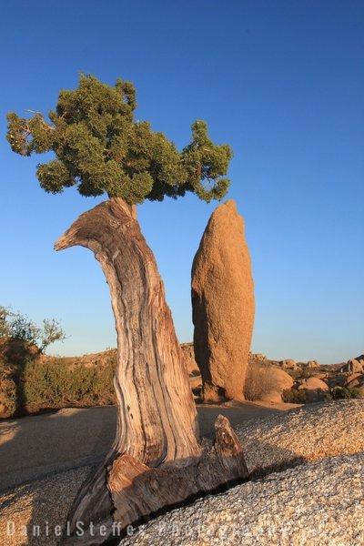 Old juniper around jumbo rocks
