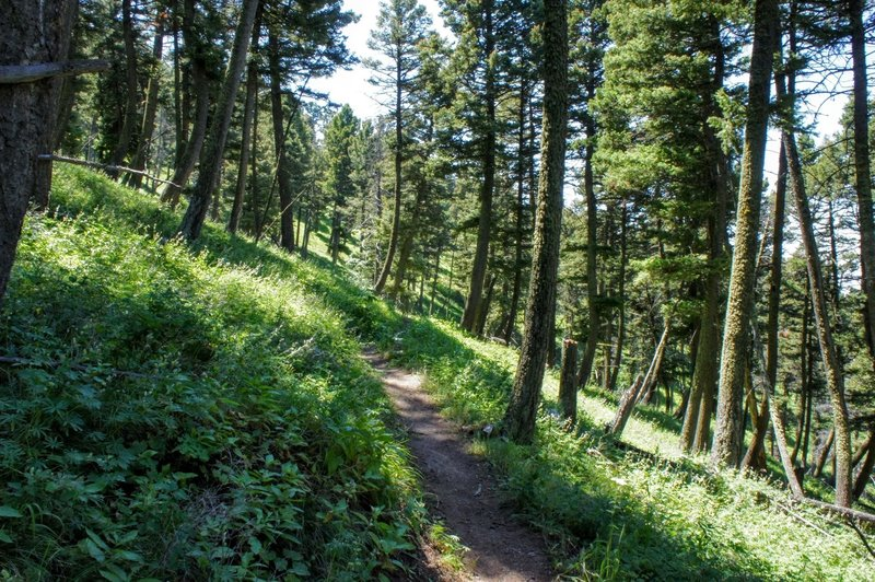 The trail carving through healthy forest on the hillside