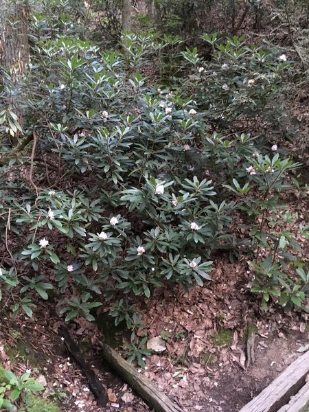 Rhodies on the way down
