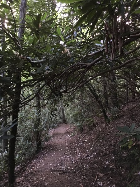 Rhodies almost covering the trail