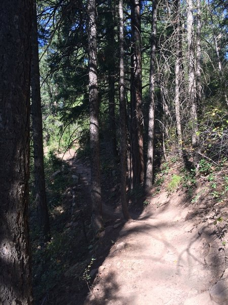 Skyline Trail once in full pines rather than pygmy pines