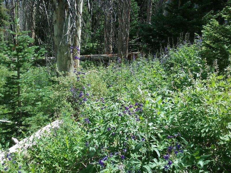 Field of larkspurs