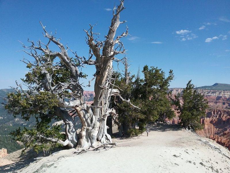 1700 year old bristlecone pine