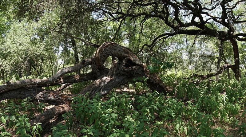 Fallen Live Oak on the Golden-cheeked Warbler Trail