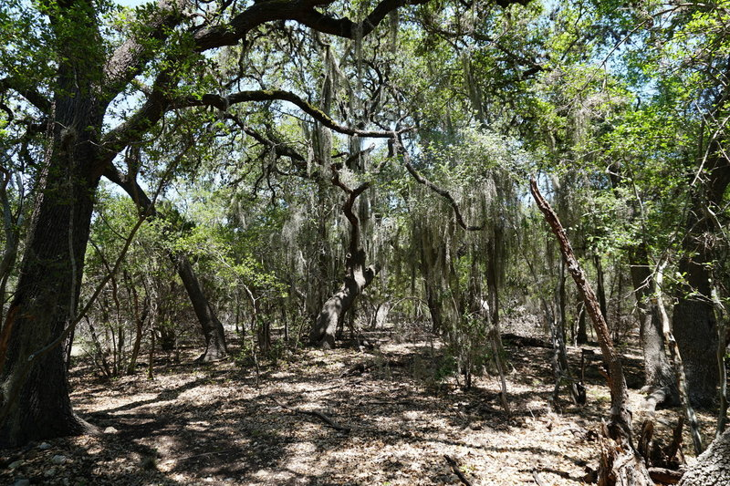 Spanish Moss hanging from the live oaks on the Hofheinz Trail