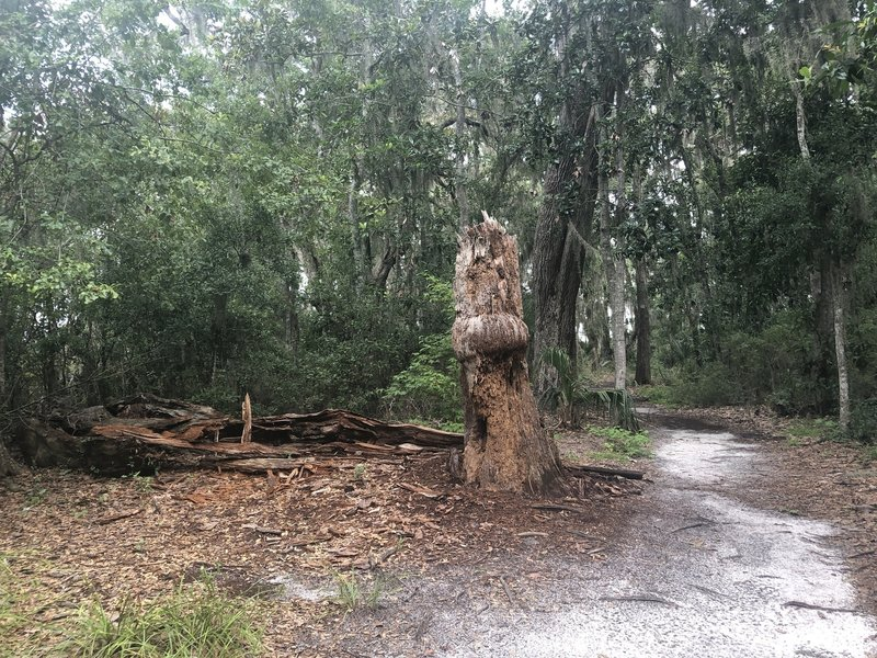 large broken tree along the trail