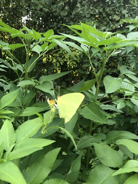 A yellow butterfly along the trail