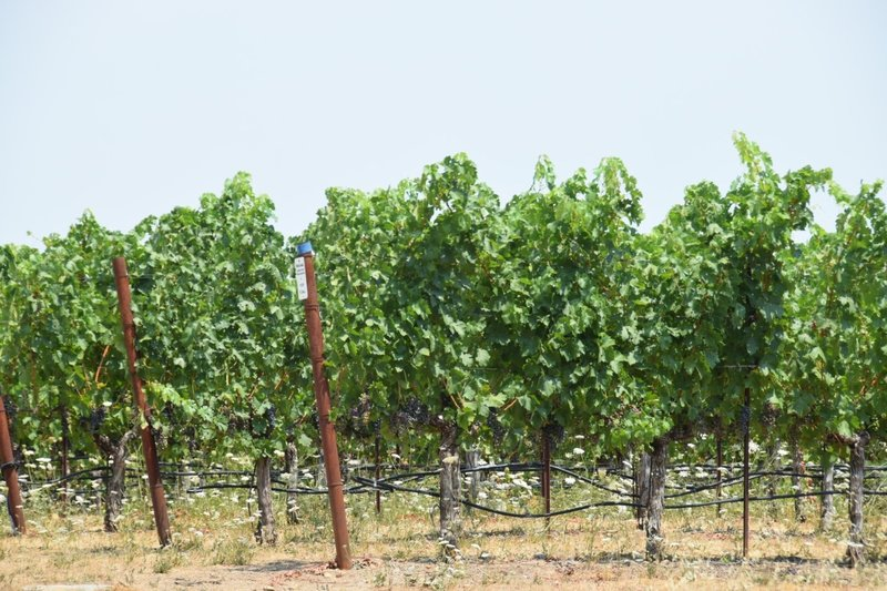 The only glimpse of the vineyards from the trail.