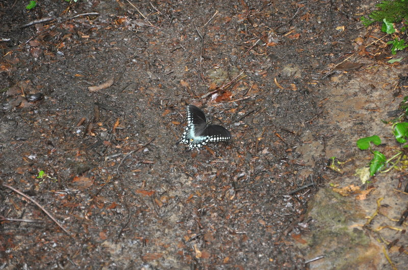 Spicebush Swallowtail on the trail.