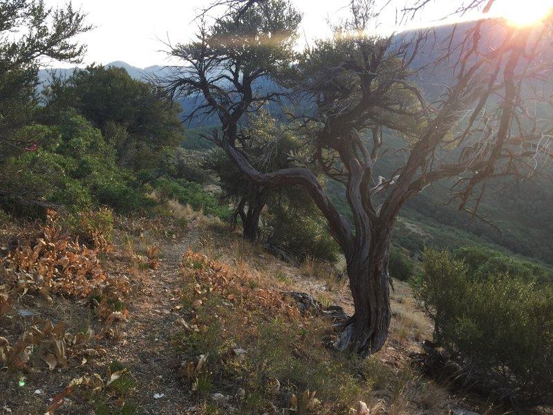 A pretty Juniper tree on the final stretch.