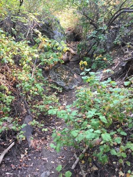 This is where the Davis Creek trail to Bountiful Peak starts to become overgrown enough that you might think it's the wrong way, but it isn't; it's the right way.