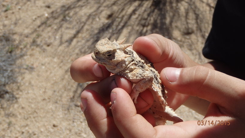 Little desert horned lizard friend (yes, we put him back right where we found him).