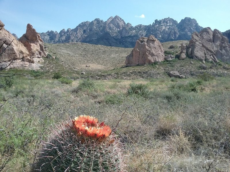 View of the Organ Mountains and barrel cactus in bloom
