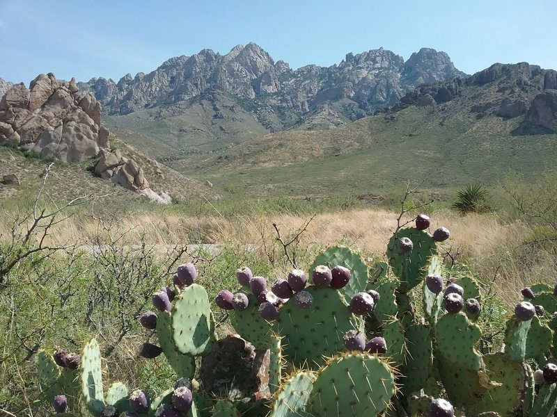 View of the Organ Mountains and opuntia in fruit