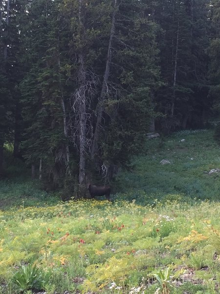 Male Moose by the campsite in Middle Fork